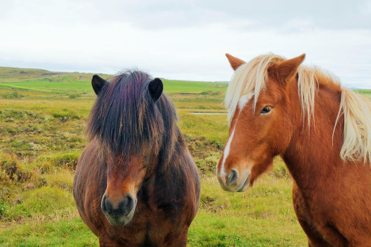 İzlanda Atı