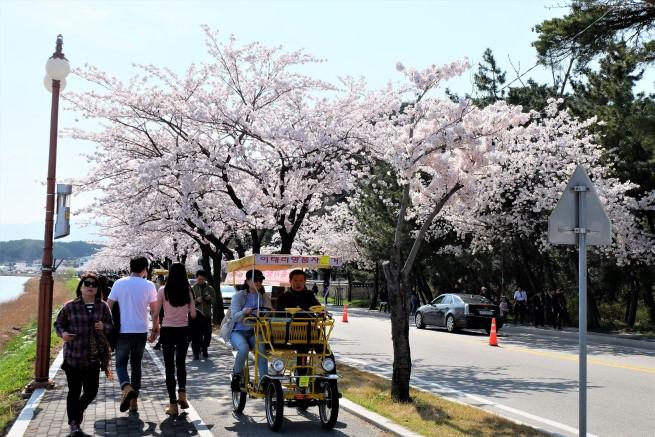Güney kore cherry blossom