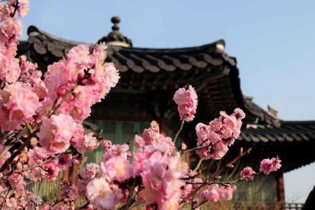 seul cherry blossom