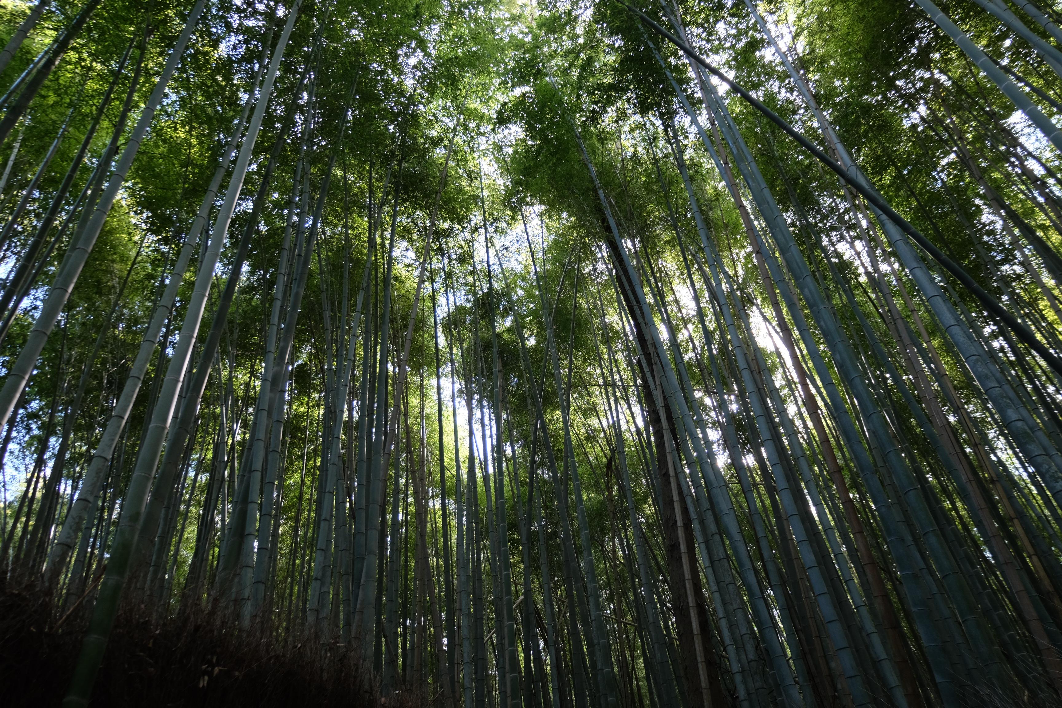 Japonya Bambu Ormanı